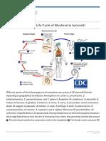 CDC - Lymphatic Filariasis - Biology - Life Cycle of Wuchereria Bancrofti