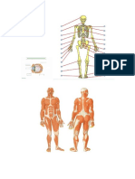 Esqueleto y Musculo