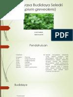 Rekayasa Budidaya Seledri (Apium Graveolens)