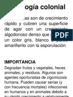 Rhizopus sp.docx
