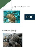 pelecypoda mollusca