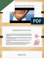Espermatogonia