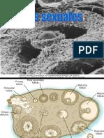 Practica 1 Embrio-Células Sexuales
