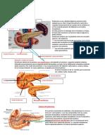 ANATOMIA  DEL  PANCREAS.doc