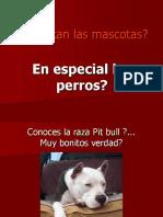 Killer Pit Bull Dog
