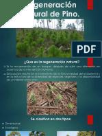 Regeneración Natural Del Pino