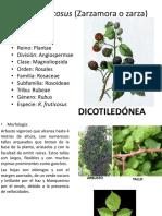 Rubus-fruticosus