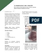 Anatomia Morfologica Del Corazón