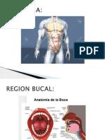 Anato Estomago
