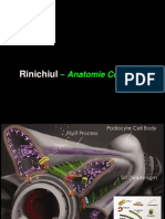 Curs 2. Anatomia renala.ppt