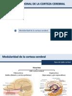 Anatomía Funcional de La Corteza Cerebral