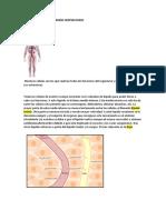 circulatorio sistema linfatico s.respiratorio.docx
