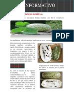 Lacayote alimento nutritivo