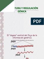 13.- Estructura y regulacion genica 2013.ppt.pps