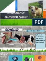 Endocarditis infecciosa bovina
