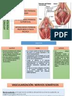 aponeurosis.pptx