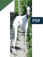Kaikadi Dog