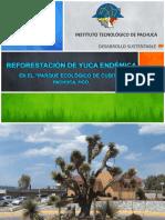 Reforestación de Yuca Endémica