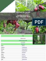 Cultivo Cacao Christian Vaca
