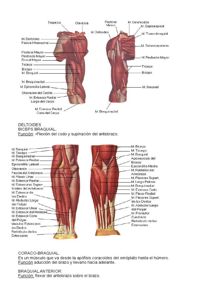 Encantador Anatomía Del Deltoides Festooning - Imágenes de Anatomía ...