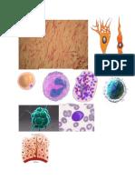Celulas moviles del tejido conectivo.docx
