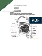Jelaskan Kedudukan Dan Fungsi Organ Tutur Yang Berikut