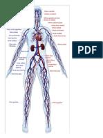 Sistemul circulator.doc