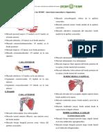 Huesos de Los Miembros Superiores - Inserciones Musculares