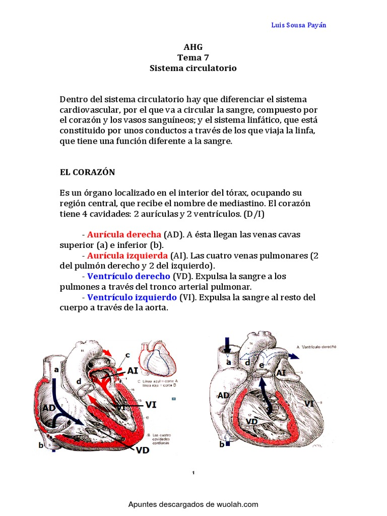 Hermosa Anatomía De Las Venas Y Arterias Gato Modelo - Anatomía de ...