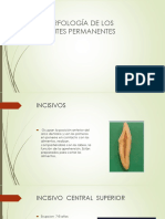 morfologia de los dientes  permanentes1