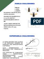 SUPERFAMILIA CHALCIDOIDEA