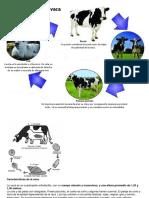 Ciclo de vida de la vaca