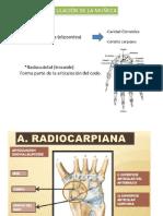 Anatomia Munecarpo