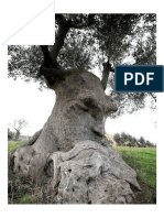 The Thinking Tree - An Ancient Olive Tree in Puglia, Italy.