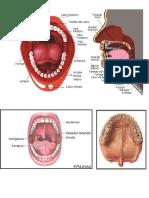 Anatomiai de Boca y Lengua