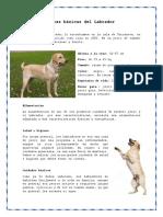 Características Básicas Del Labrador