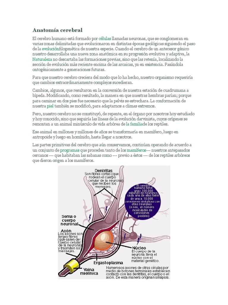 Anatomía cerebral