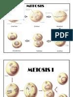 Mitosis Miosis