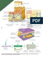 Citoesqueleto y Uniones Celulares