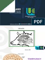 2. Hipotalamo y Mecanismo de Regulación Bajo El Control Neuroendocrino