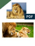 leones ql