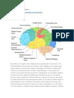Lóbulos Del Cerebro y Sus Funciones