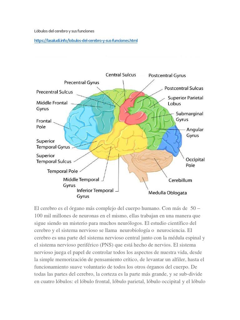 Lóbulos Del Cerebro Y Sus Funciones Lóbulo Frontal Cerebro