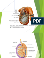 anatomia testicul-hidrocele.pptx