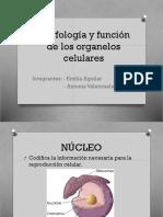Morfología y Función de Los Organelos Celulares