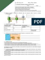 Actividades transporte y mitosis 6°.docx