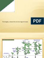 4 Fenología y Desarrollo de Las Leguminosas