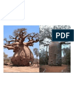 The Baobab Tree Can Store Up to 32000 Gallon of Water in Its Trunk.