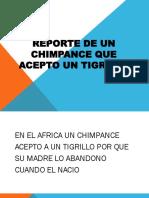 Reporte de Un Chimpance Que Acepto Un Tigrillo