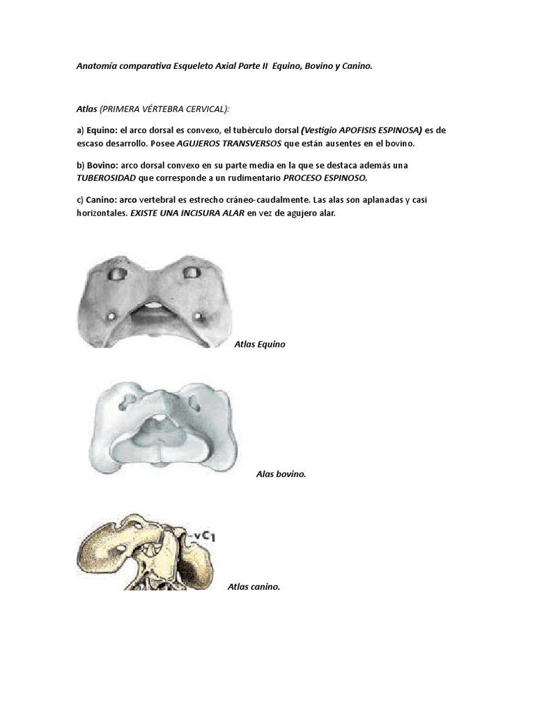 Moderno Anatomía Arco Bovino Modelo - Imágenes de Anatomía Humana ...